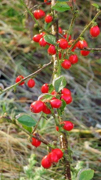 berries in garden by HSTONEY222
