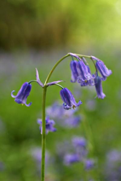English Bluebell by susanbarton