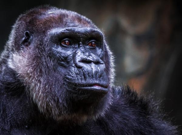 Gorilla portrait by Mackem
