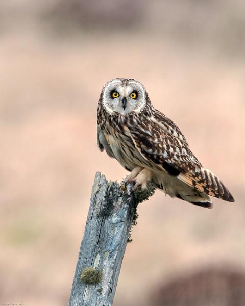 Short-Eared Owl by hasslebladuk