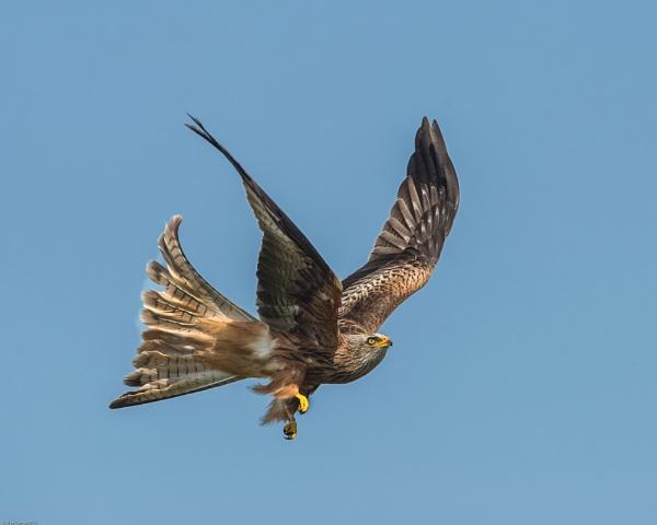 Red Kite by hasslebladuk