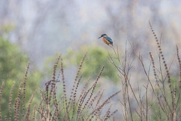 Kingfishing in the rain by FrankMA