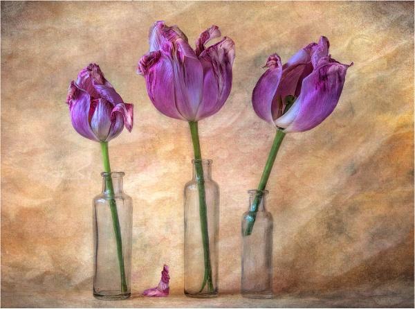Three tulips by dormay