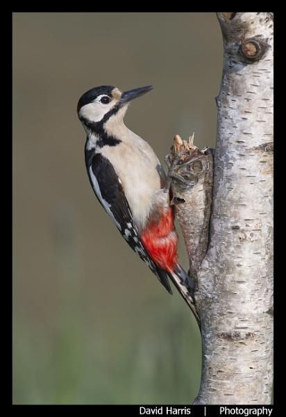 Great Spotted Woodpecker on Silver Birch by johnjo58