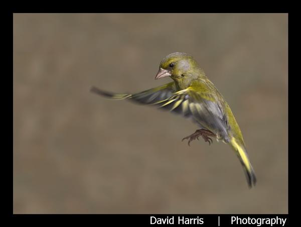 Male Greenfinch in flight by johnjo58
