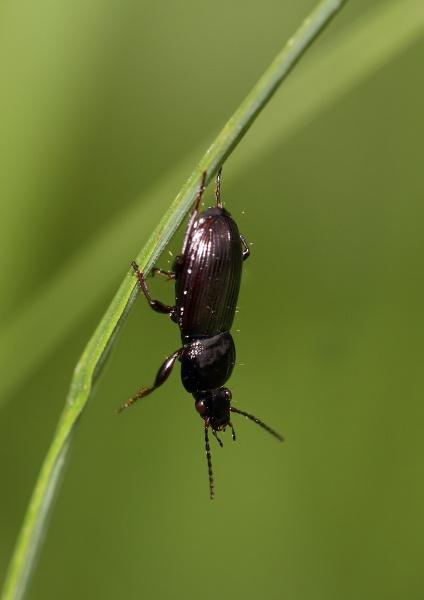 Pterostichus Niger (Ground Beetle) by Metro6R4