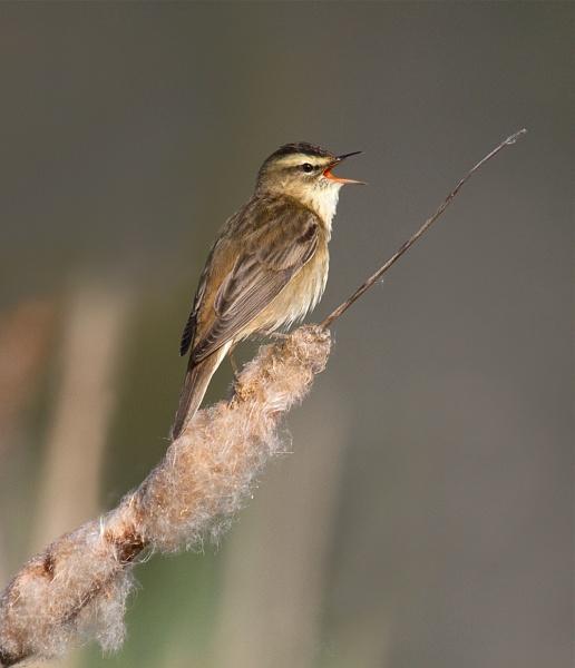 Sedge Warbler Singing by footloose