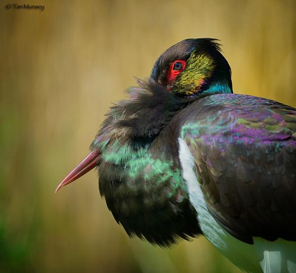 Black Stork Study by TimMunsey