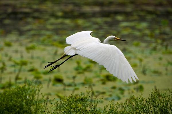 An egret in flight by Newdawei