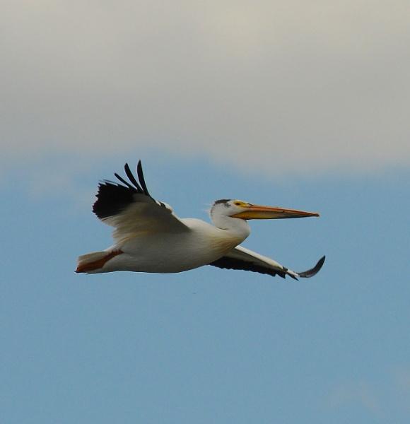 Pelican over Lake Windsor, Colorado by StuartDavie