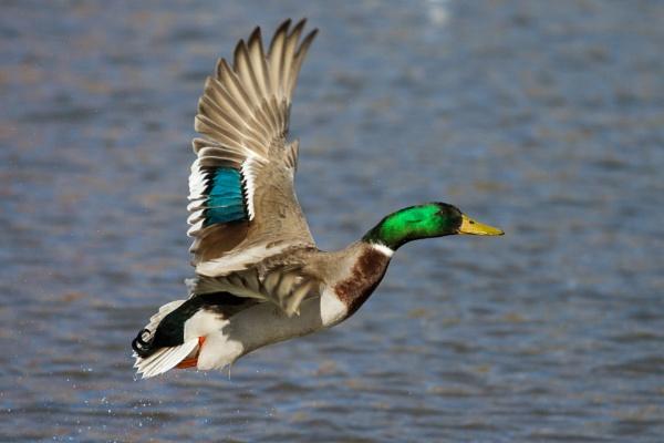 Drake in flight, River Tyne, Haddington by Skate