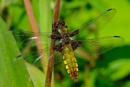 Darter Dragonfly by petebfrance