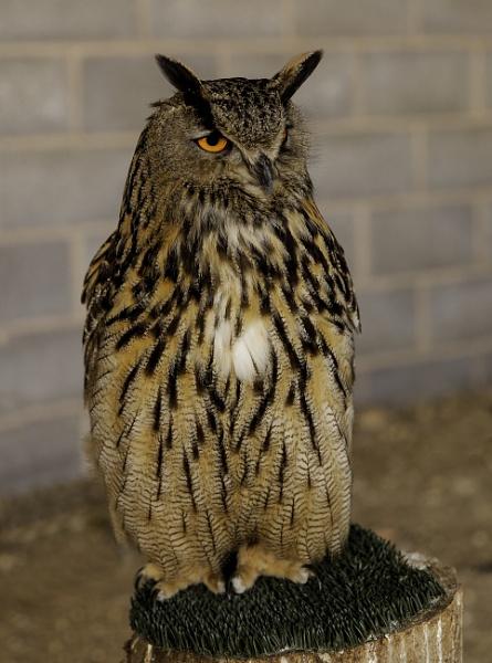 Owl by pdunstan_Greymoon