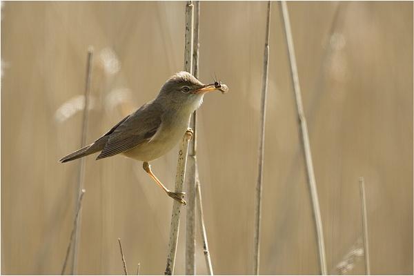 Reed Warbler by MossyOak