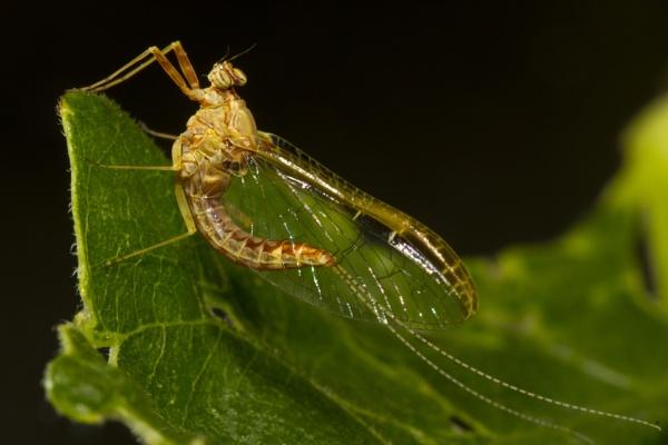 Dayfly by PieterDePauw
