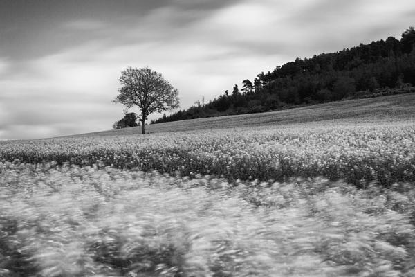Oil Seed Rape Field by Hilmar
