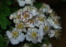 Whitethorn/Hawthorn flowers by cjlar
