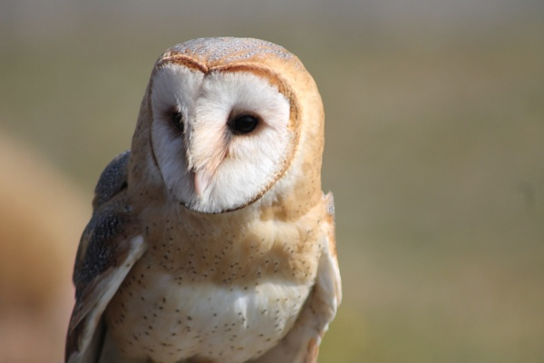Barn Owl by BONKERS4CONKERS