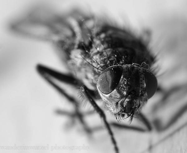 the fly by wanderinwurzel