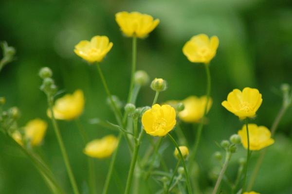 buttercups by ianball