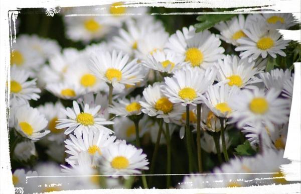 daisy\'s by ianball