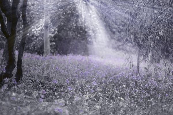 bluebells by steviemanse