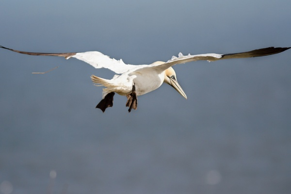 The Gannet and the Levitating Twig by Alexday1978