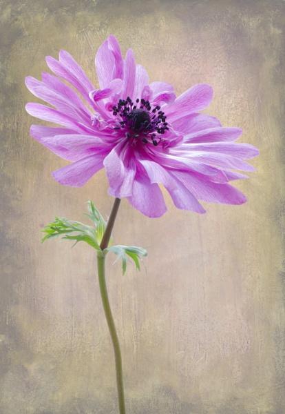 Anemone St Brigid by flowerpower59