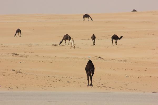 Camels in Saudi desert by Anilgupta70