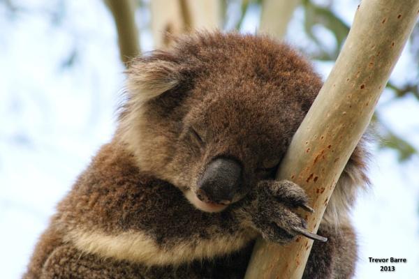 Koala Kingdom – A Walk on the Wild Side! by trevchris