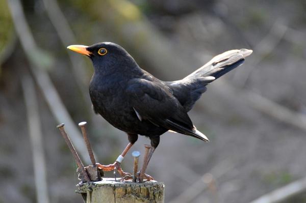 Blackbird by gaza1957