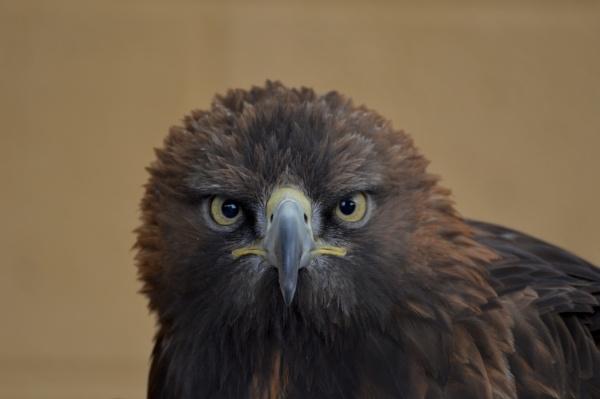 Golden Eagle by gaza1957