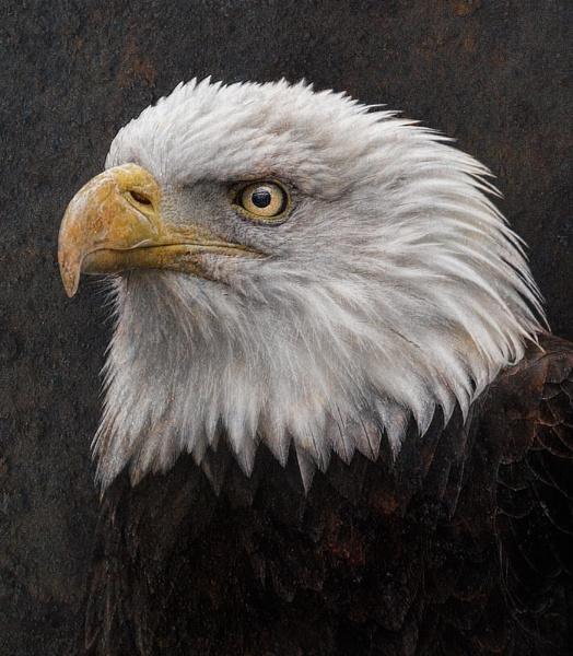 Eagle by clintnewsham