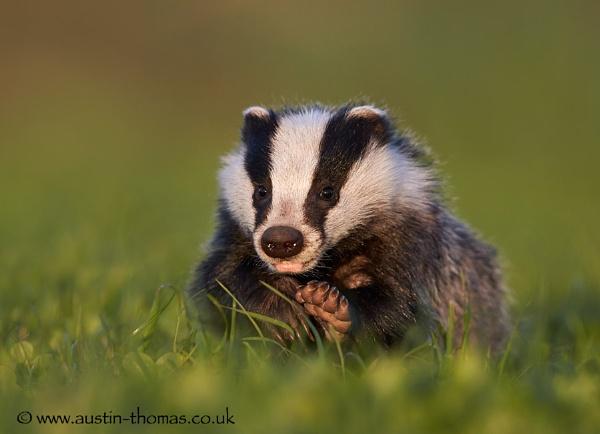 Badger by Austin_Thomas
