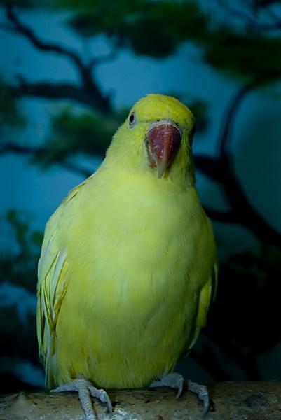 Indian Ringneck Parakeet by TimothyDMorton