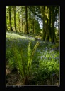 Burrator Blue Bells 1