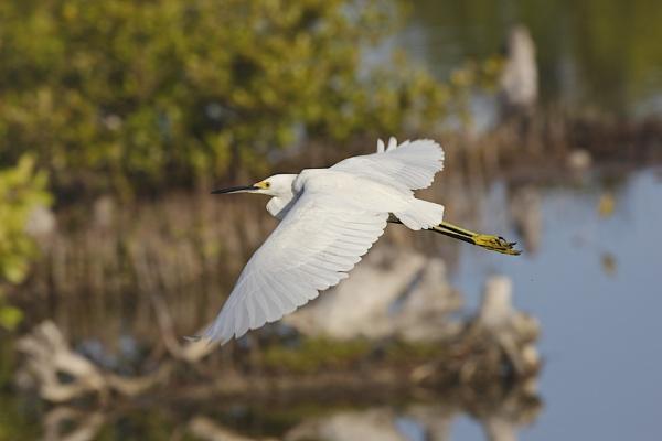 Flight of the Egret by Jason_Bonsey