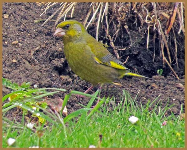 greenfinch by HSTONEY222