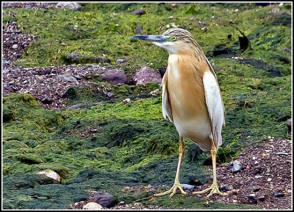 Squacco Heron  (Ardeola ralloides) by delboy85