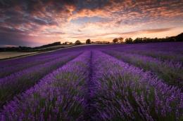 Lavender Field Shoreham