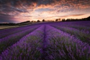 Lavender Field Shoreham