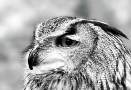 BW Owl V1