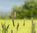 Meadow Grass by siderath