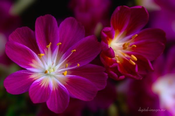 Lewisia cotyledon by Alan_Baseley