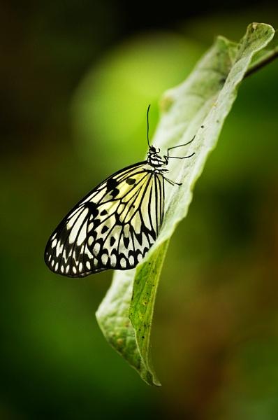 ~ Glasswing butterfly on leaf ~ by bart_hoga