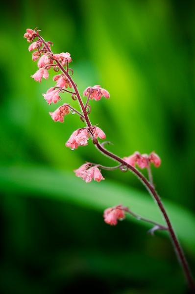 ~ Pink Bells ~ by bart_hoga