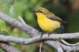 Olive-backed Sunbird, Cinnyris jugularis