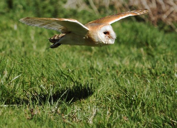 Barn Owl by Metro6R4