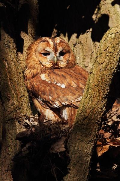 Tawny Owl by Metro6R4