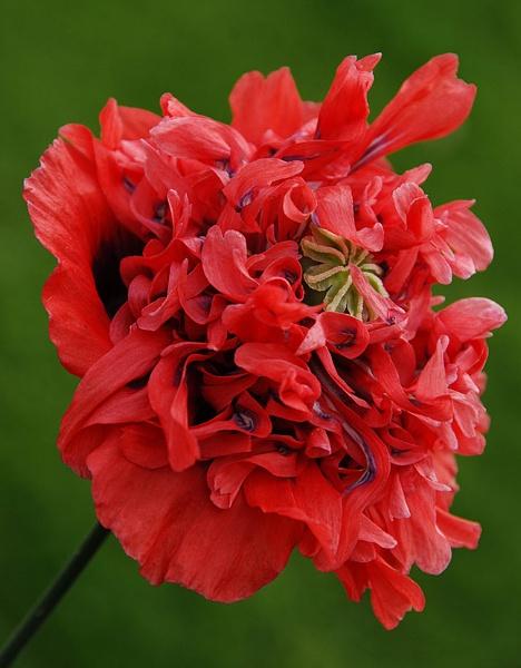 Wild Poppy by mugshotmyk